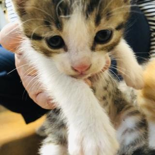 生後一ヶ月の子猫です。1ぴきめ(三毛猫)