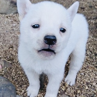 1ヶ月半・オス・小柄な中型犬
