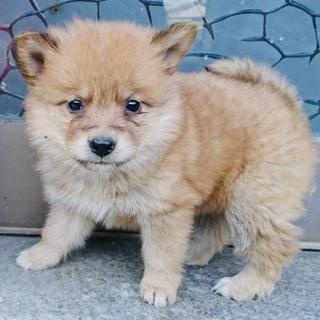 1ヶ月半・ふわふわ小柄な中型犬・メス