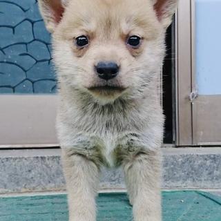 1ヶ月半・小柄な中型犬・オス
