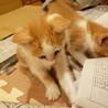 《里親さま決定しました》子猫の里親募集 サムネイル6