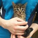 可愛いキジトラの子猫です