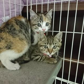可愛い姉妹子猫の里親を探しています!