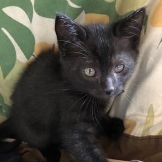 【オス】生後2ヶ月 黒猫 人なつこい♡