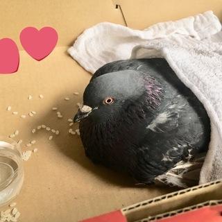 飛べない鳩