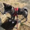 5ヶ月の秋田犬♂です サムネイル4