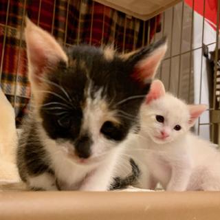 天才ミケと美しすぎるクリーム猫
