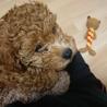 2ヶ月半トイプードルの子犬です。