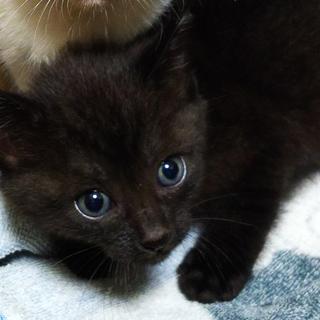 ★生後約1ヶ月クロ(虎模様あり)元気な子猫です!★