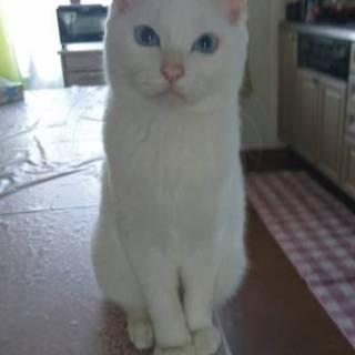 6ヶ月の白猫です。、