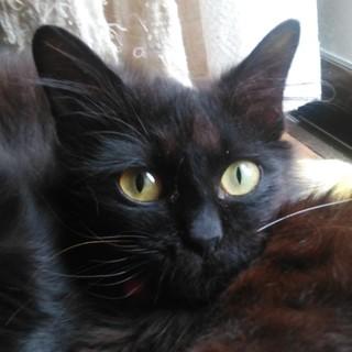 性格ひかえめ、ほんわか長毛黒猫