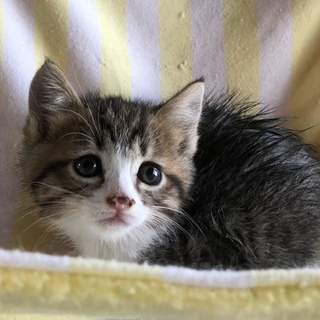 かわいい美猫丸顔キジシロ4兄妹