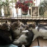 かわいい美猫丸顔キジシロ4兄妹 サムネイル4