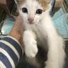 かわいい美猫丸顔キジシロ4兄妹 サムネイル6