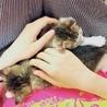 かわいい美猫丸顔キジシロ4兄妹 サムネイル7