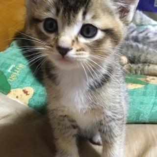 サビ猫ちゃん風×白ソックス♂ 生後1ヶ月