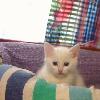 子猫(女の子)約一か月