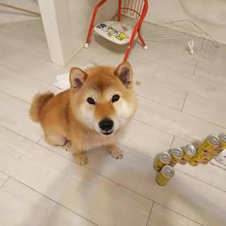 柴犬「ハチくん(仮名)」