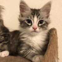 洋猫MIXの男の子!