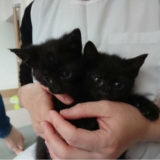 性格二重丸人なつこい黒猫 2ヶ月
