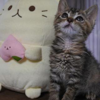 ペルシャmixの女の子猫