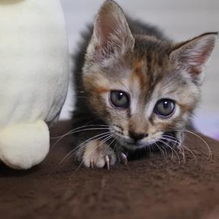ペルシャmixの女の子猫②