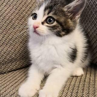 生後約1か月半の仲良し4兄妹猫です