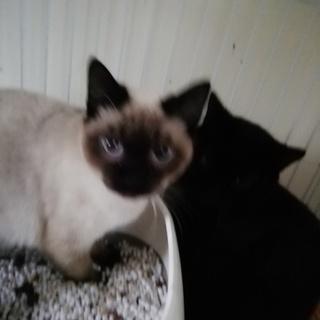 多頭飼育崩壊からの保護猫、シャム