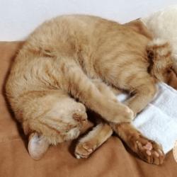 肉球を見せて昼寝をするうちの茶トラ猫です