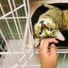 小柄で美人なキジ猫☆そらちゃん サムネイル2