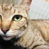 小柄で美人なキジ猫☆そらちゃん サムネイル3