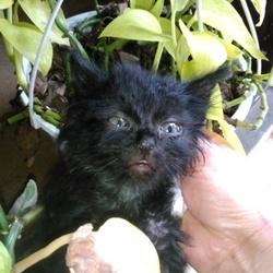 長毛の黒の仔猫ちゃん
