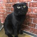 耳折れ黒猫のクロ♂若いけど冷静でマイペース