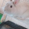 【急募】ミニウサギちゃんです!