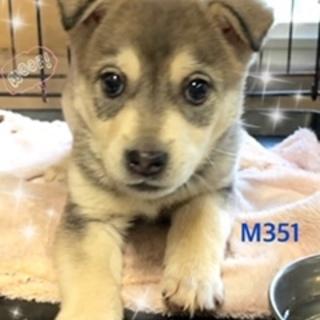 個体番号:M351 可愛い子犬