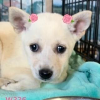 個体番号:W336 可愛い子犬