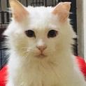 真っ白な長毛猫 ♪ しーちゃん ♪
