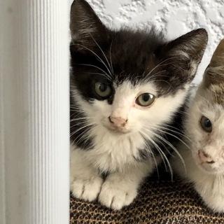 里親様募集!黒白の子猫♀