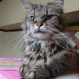 成猫のメインクーンの女の子里親募集