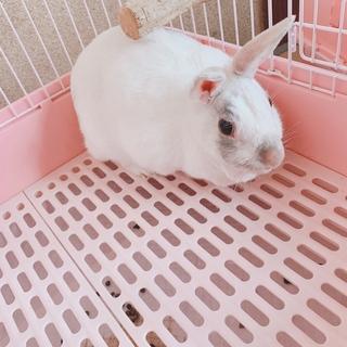 【至急】ミニウサギ♀2歳