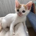 犬猫ok 白茶子猫 こたつちゃん 推定2ヶ月