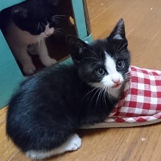 とても人懐こいタキシード子猫坊ちゃん「樹」