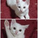 生後2ヶ月白猫兄妹の子猫の里親さん募集