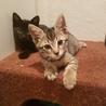 保健所保護猫 2ヶ月半子猫里親募集 サムネイル2