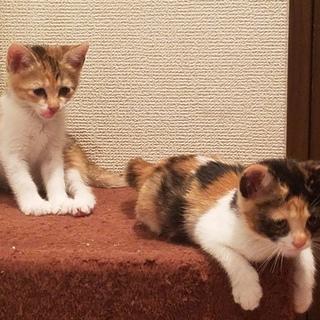 保健所保護猫 1ヶ月 二匹姉妹子猫里親募集
