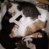 保健所保護猫 1ヶ月 二匹姉妹子猫里親募集 サムネイル5