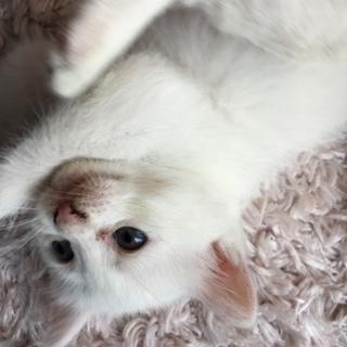 可愛い白ネコブルーアイ