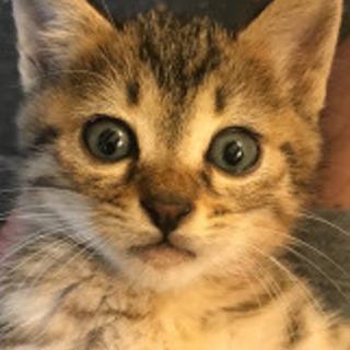 母猫事故死のキジトラ♀1か月半