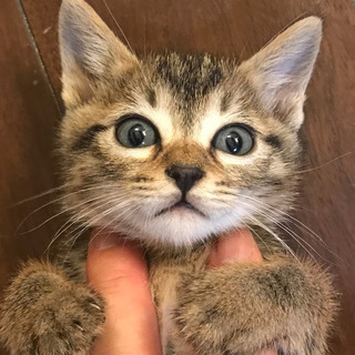 母猫事故死の子キジトラ(2匹目)♀1か月半