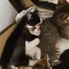 保健所保護猫  ハチワレちゃん1ヶ月子猫里親募集 サムネイル3